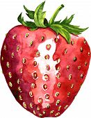 watercolor drawing strawberry