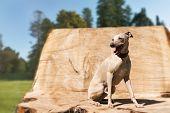 Sitting Greyhound