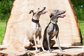 picture of greyhounds  - Two elegant greyhounds sitting  on the  stump - JPG