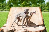 Two standing Greyhounds