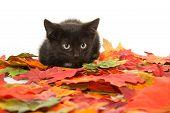 Cute Black Kitten And Leaves
