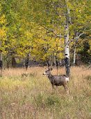 image of buck  - A large mule deer buck standing in a meadow with aspen trees in the background in Rocky Mountain National Park near Estes Park Colorado - JPG