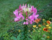 Beautiful Spider Flower