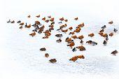 Ducks In Winter On The Snow