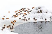 Ducks In Winter On The Snow With Pond