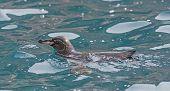 Galapagos Penguin Swimming In The Ocean