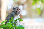 Monkey (crab-eating Macaque) In Thailand