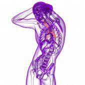3D Render Medical Illustration Of The Bronchi
