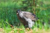 picture of goshawk  - Wild northern goshawk standing on the ground and eating meat - JPG