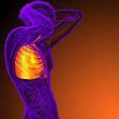 3D Render Medical Illustration Of The Human Respiratory System