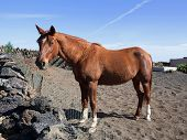 Brown horse in the Canary Islands