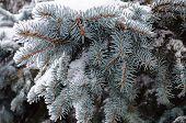 Snow-covered Fir Branch