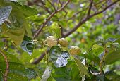 Noni tree with fruits. Morinda citrifolia