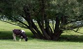 Country Cow by Tree