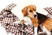 Beagle dog on plaid isolated on white