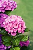 stock photo of hydrangea  - Bunch of beautiful hydrangea flowers outside - JPG