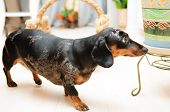 picture of dog-house  - funny dachshund dog standing on the floor in the room - JPG