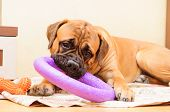 pic of toy dogs  - junior puppy bullmastiff lying on a rug in the house - JPG