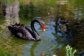 image of black swan  - Amazing black swan looking at its reflection in the green water of the pond - JPG