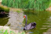 picture of black swan  - Black swan on the surface of green water pond - JPG