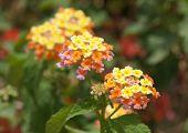 foto of lantana  - Lantana Camara blossom, selective focus on the flower ** Note: Shallow depth of field - JPG