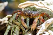 picture of hairy  - Hairy leg mountain crab at tachi island - JPG