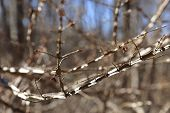 stock photo of peculiar  - Winged burning bush or Euonymus alatus thicket with distinctive corky bark on leafless branches reflecting the sunshine - JPG