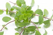 picture of origanum majorana  - Bunch of marjoram herb isolated on white - JPG