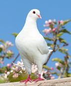 stock photo of pecker  - one white pigeon on flowering background  - JPG