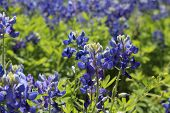 stock photo of bluebonnets  - Texas Bluebonnets up close in the spring sunshine - JPG