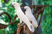 image of cockatoos  - Cockatoo Cacatua galerita Isolated on white background