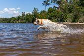 foto of bathing  - Labrador bathing in the river - JPG