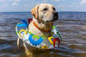 pic of labradors  - Labrador bathing in the river - JPG