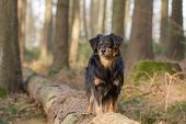 pic of border terrier  - A dog is standing in the forest on a tree trunk - JPG