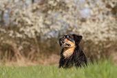 picture of border terrier  - A dog lies in the grass and looking attentively to the side - JPG