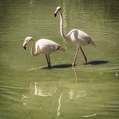 picture of greater  - Pair of Greater flamingo  - JPG