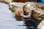 stock photo of macaque  - Baby snow monkey Japanese Macaque playing with snow at onsen hot springs of Nagano - JPG