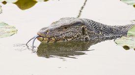 picture of goanna  - Closeup Large monitor lizard in canal nature - JPG