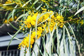 foto of mimosa  - yellow blossom of mimosa tree  - JPG