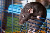 Black Rat Of Breed Dumbo