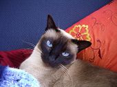 Tonkinese Cat Diva