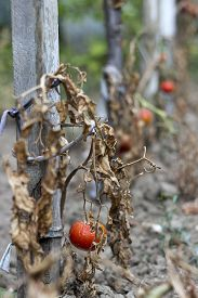 picture of drought  - Destroyed tomato due to a long drought.The concept of global warmingstrong heat and very drought years