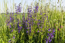 stock photo of clary  - Salvia pratensis L - JPG