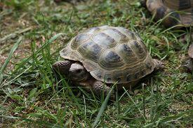 stock photo of russian tortoise  - Russian tortoise  - JPG