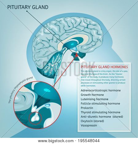 Pituitary gland detailed vector illustration medical anatomy of pituitary gland detailed vector illustration medical anatomy of human brain cross section hypophysis infographic ccuart Choice Image