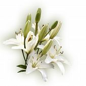 Spray Of White Lilies (Clipping Path)