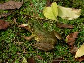 Reptiles  Green Frog 006