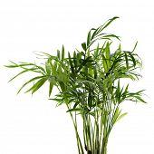 chamaedorea plant on white