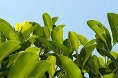 primer plano de la magnolia de hojas sobre fondo de cielo azul con espacio para texto