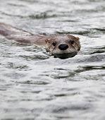 Fischotter (Lutra Lutra), auch bekannt als eurasischen Otter, eurasische Fischotter, gemeinsame Otter und o